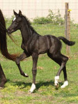 Aquafarms foal black.jpg