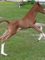 Foal by Oskar Pointman Q.jpg