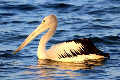 Pelican Dreaming