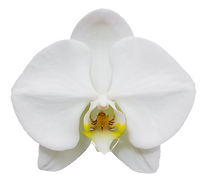 white phalaenopsis orchid flower isolate