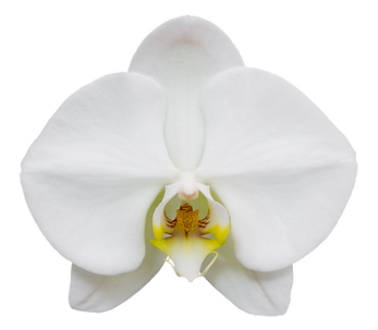 white phalaenopsis orchid flower isolate