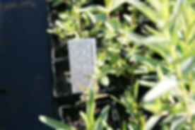 Push-in Plant Tag