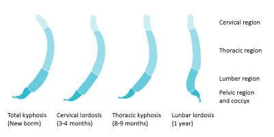 שלבי התפתחות עמוד השידרה של התינוק