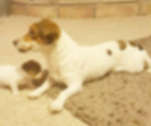 Jack Russell Terrier-