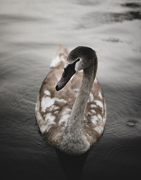 alex-iby-goose on water-unsplash.jpg