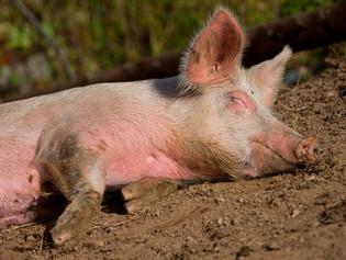 Stress thermique en élevage porcin, une réalité