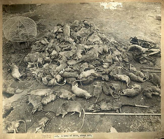 Estimated 600 Dead Rats–Western Front Witness–Animals in WW1-Horses in WW1-Dogs in WW1