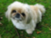Pekinese Dog–Western Front Witness– WW1 Explored-WW1 Stories-Interesting Facts About WW1
