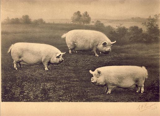 three MW pigs 1916.jpg