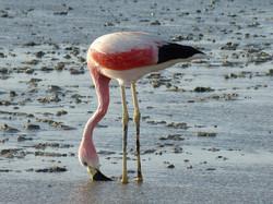 flamingo-798591_1920