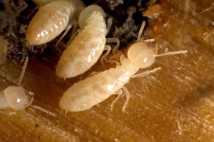 Termites_2.jpg