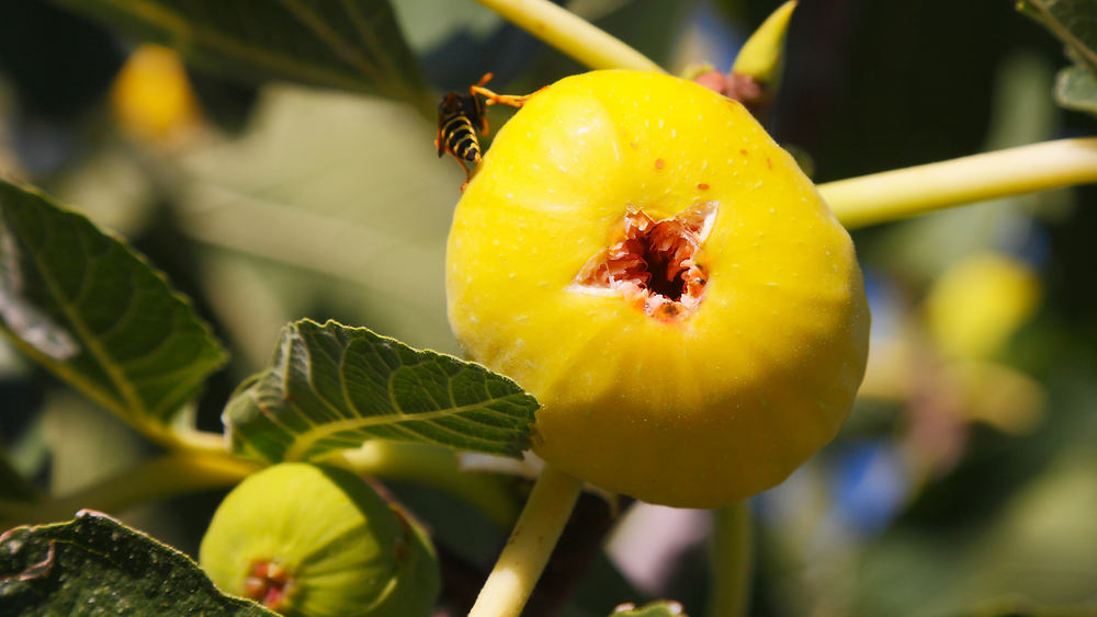 a wasp sit on the top of a fig. The bottom has a big hole chewed out from where the wasp entered/exited