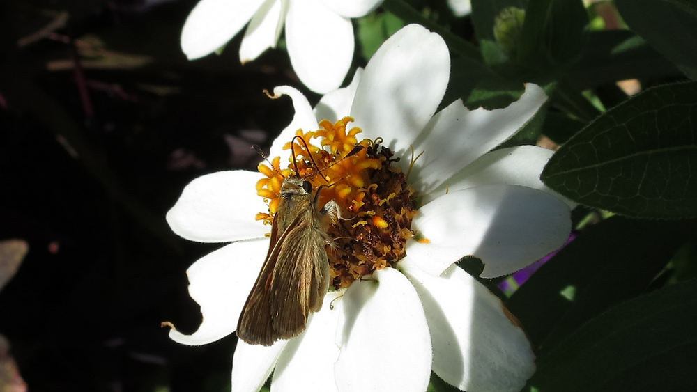 a brown moth sits on a white flower with a yellow center in the sunlight