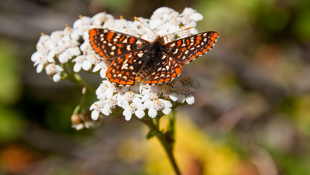 An orange, brown, and white checkered butterfly sits atop a cluster of white flowers with its wings spread.