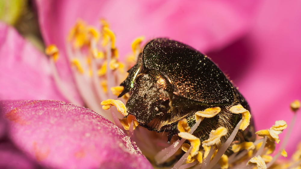 a black and gold iridescent beetle sits atop a pink flower, covered in pollen specks