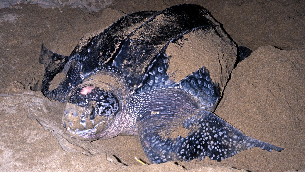 A black and gray leatherback sea turtle nests in the sand in what appears to be night time.