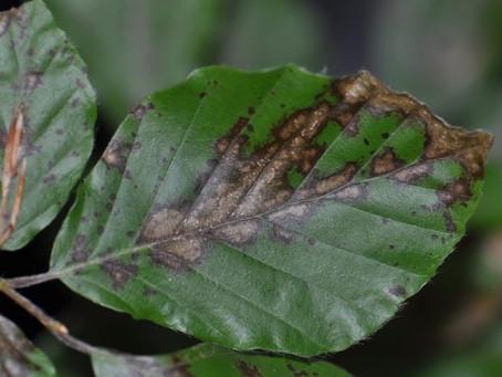 An emerging threat to beech – Petrakia liobae