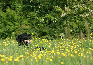 Dog in Buttercups.jpg