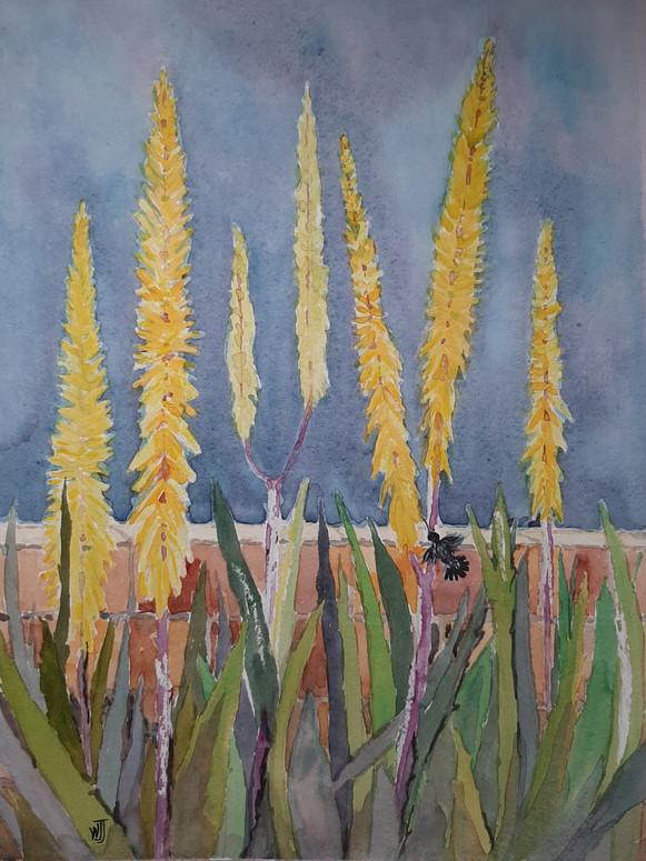 Blossoming Aloe