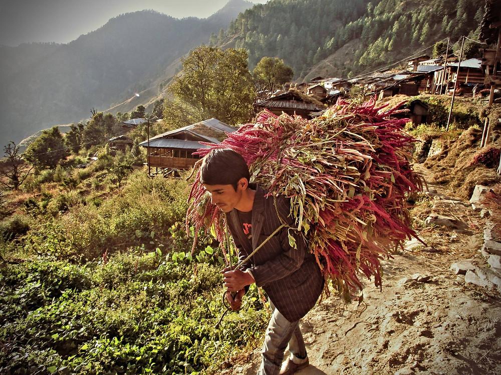 Villager bringing harvested amaranth in Kalap