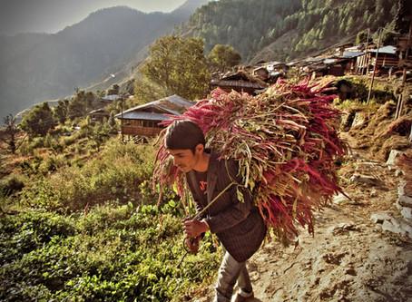 Harvesting Amaranth, October 2014 in Kalap