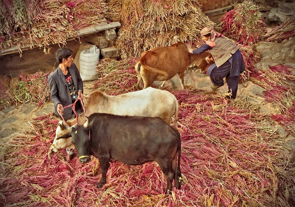 Villagers using bullocks to remove amaranth grain