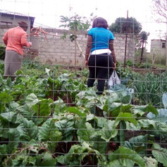 Community allotments on the common land in South Africa are yielding many crops.