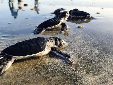 300 Sea Turtle hatchlings released into sea in Gunjur on Saturday