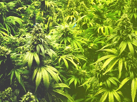 Marijuana Peddlers, Consumers Oppose Blanket Legalisation in The Gambia