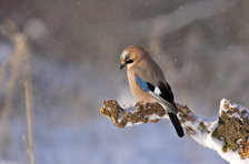 jay-bird-konar-winter-45212.jpeg