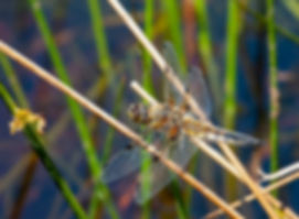 four spotted chaser SOC.jpg