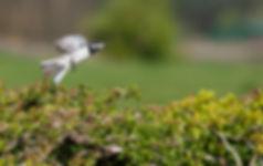 wagtail in flight.jpg