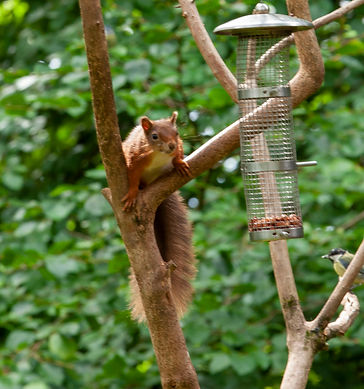 red squirrel1.jpg
