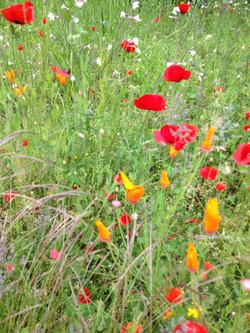 Gazon en prairie sauvage fleurie