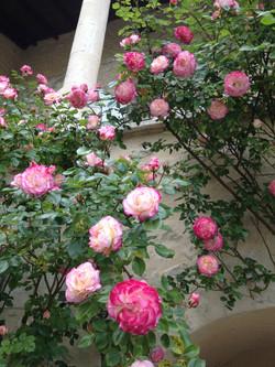 Rosiers grimpants en fleurs