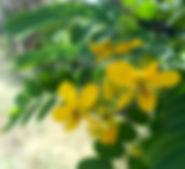 Smilings gelber Moringa