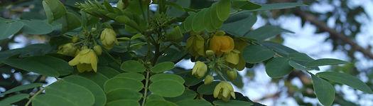 Smilings Moringa Blütenansatz