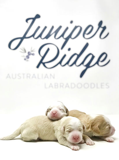 Minnie Adelaide's Merry Music Pups 1 week old