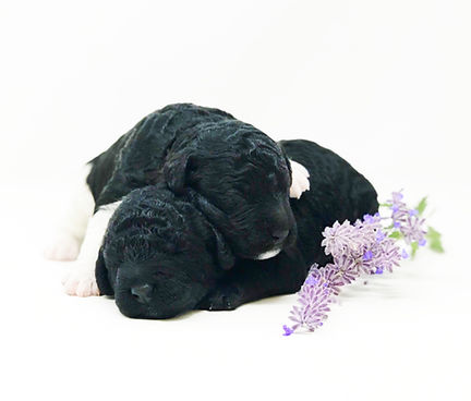 Scout (male) & Rover (male) 1 week old