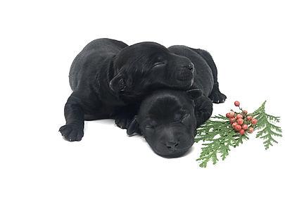 black Australian Labradoodle puppies