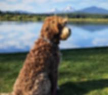Pippa Australian Labradoodle