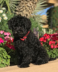 Hollyhock black mini Australian Labradoodle