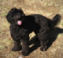 Black Australian Labradoodle