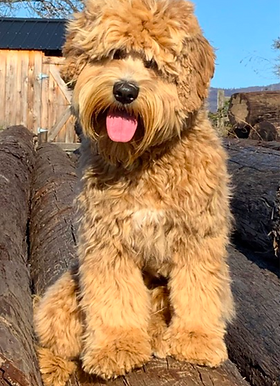 Rogue Valley Labradoodles Breaking News.png