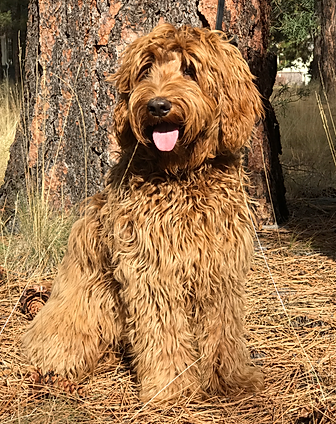 Bit O'Honey red Australian Labradoodle