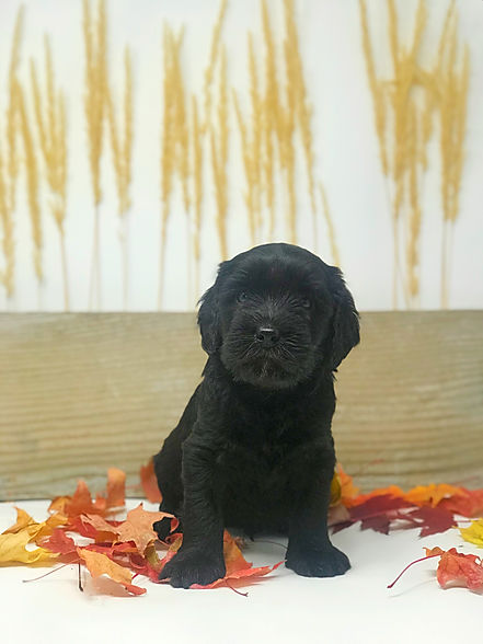 Pie, 5 weeks old black Australian Labradoodle