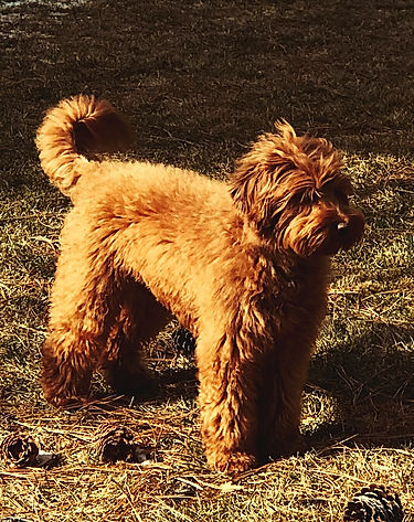 Bailey red Australian Labradoodle