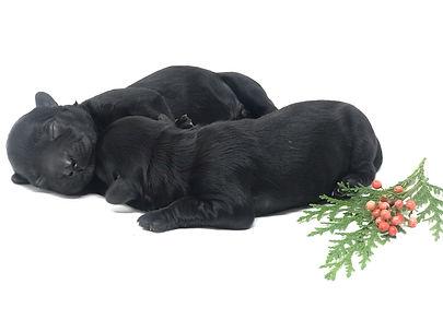 Jitterbug's Night Sky Puppies Nova & Twi