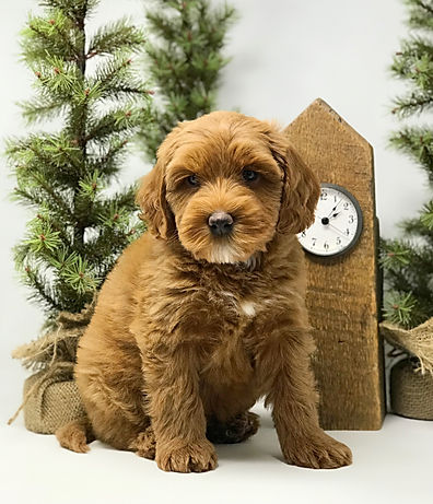 Louie 7 weeks old mini Australian Labradoodle