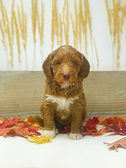 Cider 5 week old Red Tuxedo Australian Labradoodle.jpeg